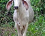 Cow in Carara National Park.