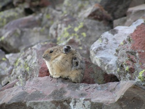 Alaska uses bad science to justify hunting of collared pika